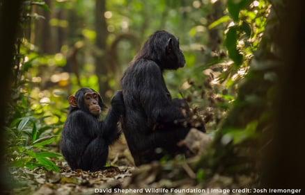 Chimpanzees - Josh Iremonger