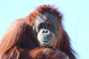 Emotive Orangutan