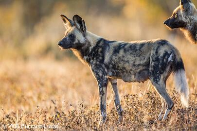 Painted Dog by Will Burrard-Lucas