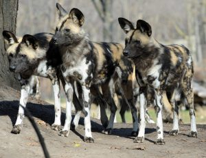 Painted dogs in Zambia