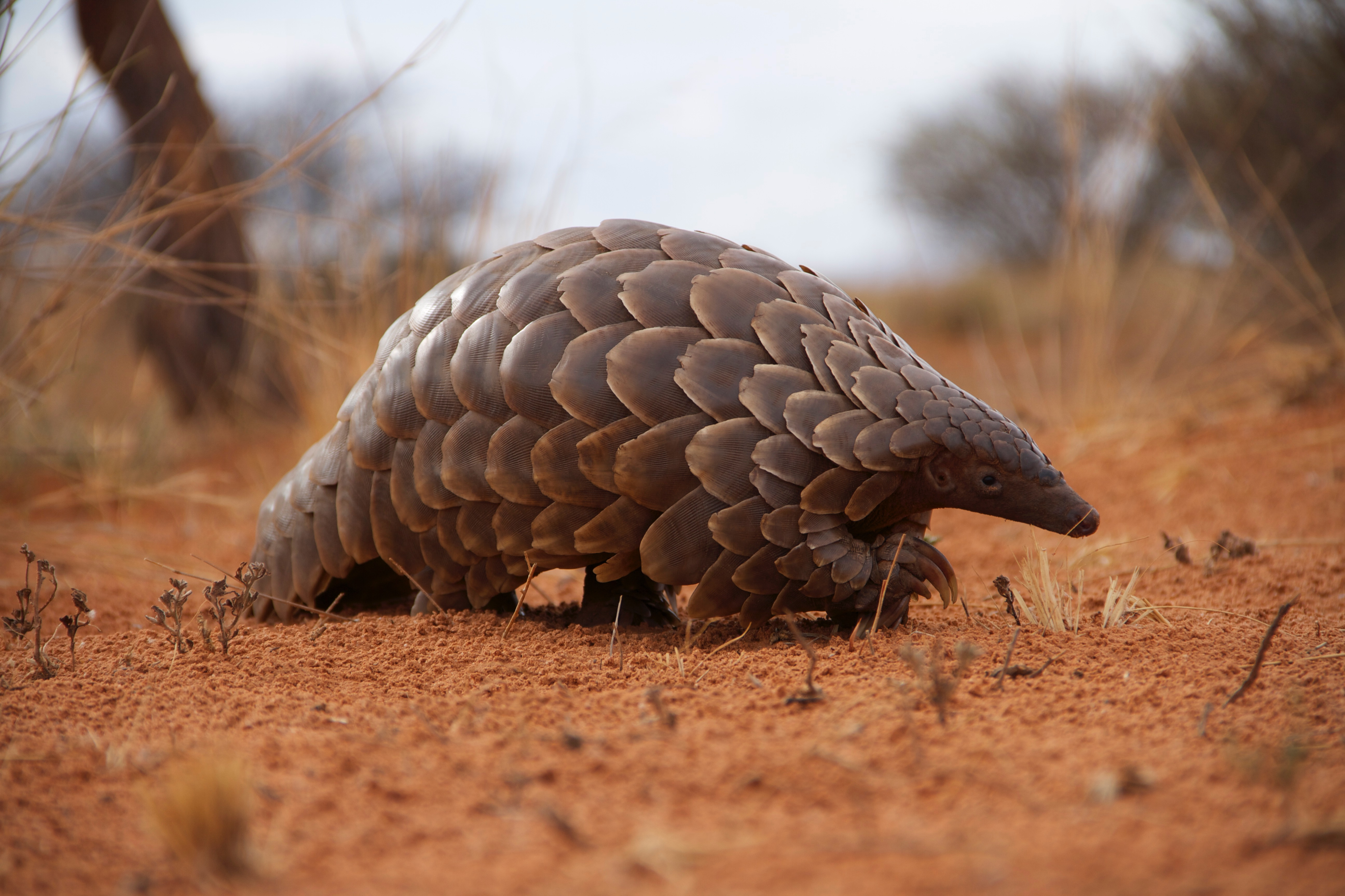 pangolin - HD 5184×3456