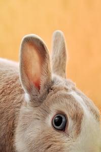a rabbit listening