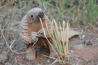 Cute pangolin